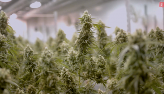 VIDEO: A new leaf—The future of Canadian cannabis reporting